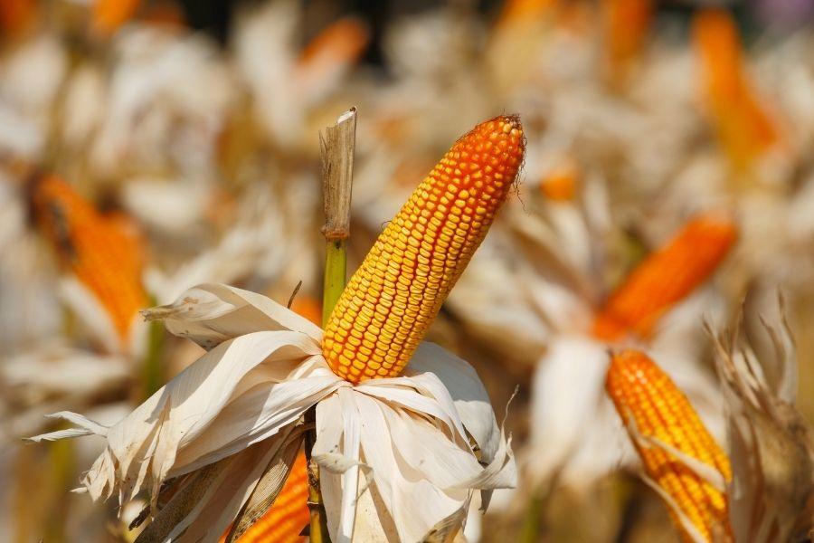 Import Yellow Corn